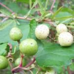ブドウに似た実(カガミグサ)(食べられない野草)